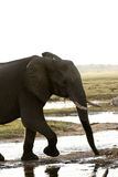 Frontal Elephant Study. African elephants stay near water where possible as they need to drink at least once a day Royalty Free Stock Photos