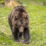 Frontal europeo del oso marrón foto de archivo