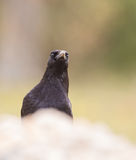 Frontal head-shot of Common Raven Stock Photography