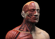 Frontal head and torso 3D render. Frontal view of 3D render of human head and torso muscular structure on black background Royalty Free Stock Images
