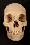 Frontal humano médico do crânio imagens de stock