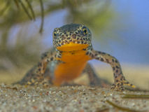 Frontal image of male Alpine Newt Royalty Free Stock Image