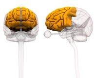 Frontal lob Brain Anatomy - illustration 3d royaltyfri illustrationer