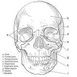 frontal mänsklig skallevektor royaltyfri illustrationer