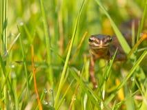 Frontal maschio del newt Fotografie Stock Libere da Diritti