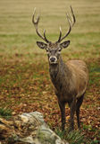 Frontal portrait of adult red deer stag Stock Photography
