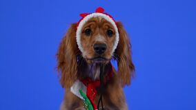 Frontal portrait of an English Cocker Spaniel sitting in a studio on a blue background. A pet with a sad look in a red