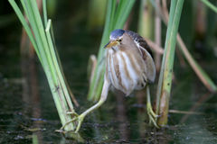 Frontal portrait female little bittern Royalty Free Stock Image