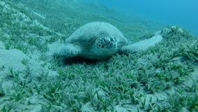 Frontal portrait of great sea turtle sleeping on green sea grass swaying in current. Green Sea Turtle, Chelonia mydas.