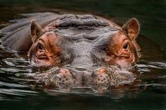 Submerged Hippo royalty free stock photos