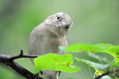 Frontal portrait of juvenile Chaffinch in autumn Stock Image