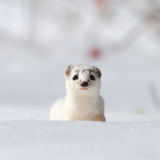 Frontal portrait of Least Weasel in snow Royalty Free Stock Image