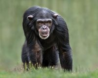 Chimpanzee XXXII. Frontal Portrait of a Young Female Chimpanzee Against a Blurred Background royalty free stock photography