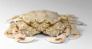 Frontal shot of a moon crab. Low angle shot of a moon crab in light grey back Stock Photo