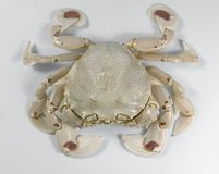 Frontal shot of a moon crab Stock Photo