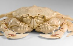 Frontal shot of a moon crab. Low angle shot of a moon crab in light grey back Stock Images