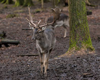 Young fallow deer buck Royalty Free Stock Images
