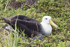 Frontal side view of a nesting albatross Royalty Free Stock Photos