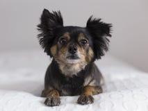 Frontal sikt av den gulliga bruna och svarta långhåriga chihuahuaen som ner ligger arkivfoto