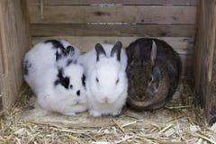 Frontal sikt av tre gulliga olika färgade kaniner som tillsammans kurar royaltyfria bilder
