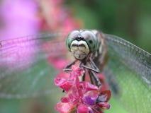Frontal slut upp av en drakefluga som är hållande på en blomma Arkivfoto
