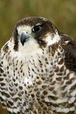 Frontal study of a Peri/Saker Falcon Stock Photography