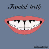 Frontal teeth. Incisor, canine, premolar, molar upper and lower jaw. Vector illustration for print or design of the dental clinic Royalty Free Stock Images