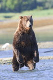 Frontal vertical of brown bear standing Royalty Free Stock Photos
