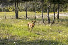 Adorable fawn standing alert among wildflowers royalty free stock photography