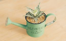 Frontal view of an Aloe succulent plant in detail, closeup view, in a wooden background with a green watering can pot.  royalty free stock image