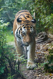 Frontal view of a Amur tiger in the forest royalty free stock photography