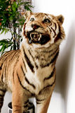 Frontal View of Bengal Tiger Royalty Free Stock Photography