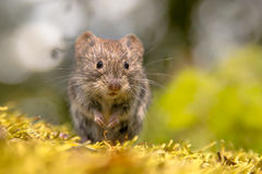 Frontal view of cute Bank vole royalty free stock photography