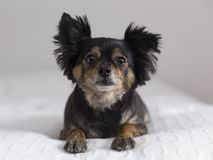 Frontal view of cute brown and black long-haired chihuahua lying down stock photo
