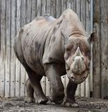 Frontal View of A East African Black Rhinoceros. This is an early Spring picture of a frontal view of an East African Black Rhinoceros in its compound at the Royalty Free Stock Photography