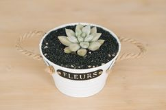 Frontal view of an Echeveria laui succulent plant in detail, closeup view, in a wooden background with a white pot and black sand.  royalty free stock photo