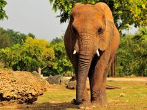 Frontal View of an Elephant (Horizontal) Royalty Free Stock Photo