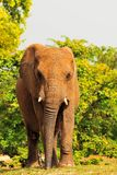 Frontal View of an Elephant (Vertical) Royalty Free Stock Image