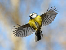 Frontal view of flying Blue Tit Stock Images