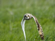 Frontal view of flying Short-eared Owl stock photos