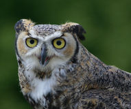 Frontal view of great horned owl Stock Images