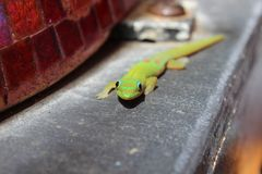 Frontal view of Green Golden Dust Day Gecko Stock Photo
