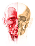 Frontal view of male human head with half muscles and half skull. Frontal view of male human head, with half muscles and half skull. On white background. Anatomy Royalty Free Stock Images