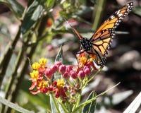 Butterfly on Milkweed stock photography