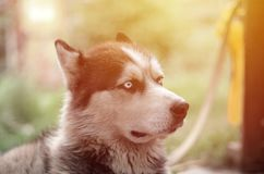 Proud handsome young husky dog with head in profile sitting in garden