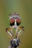 Frontal view of a robber fly Stock Photography