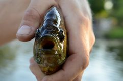 Frontal View of Sunfish Royalty Free Stock Images