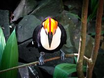 Frontal View of a Toco Toucan Ramphastos Toco Royalty Free Stock Photography