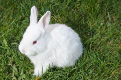 Frontal view of white bunny Stock Photo