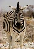 Frontale Ansicht von Zebra Stockbilder